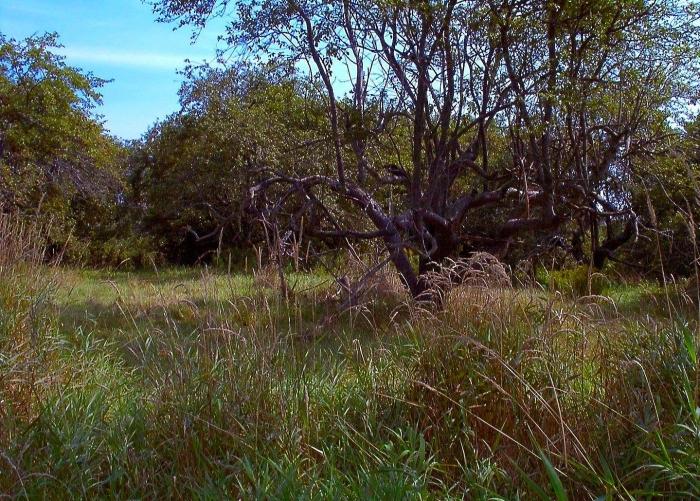 archaic descendants of Thibodeaux's abandoned apple orchard