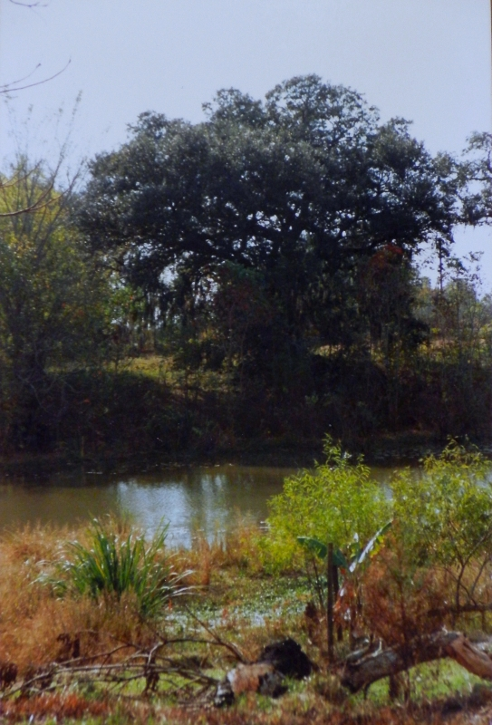 The big oak on Bayou Teche