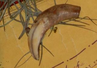 nutria claw from a Cajun sugar cane farm in 1800s Breaux Bridge
